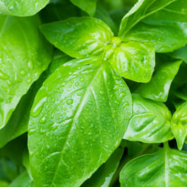 Basil Sweet France  (Ocimum Basilicum)