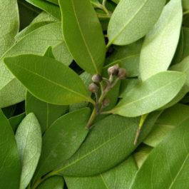 Bay West Indies  (Pimenta racemosa)